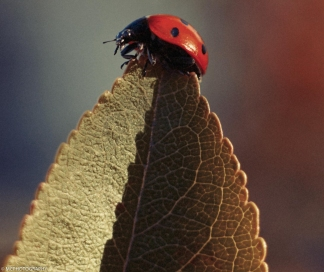 red ladybug on a leaf