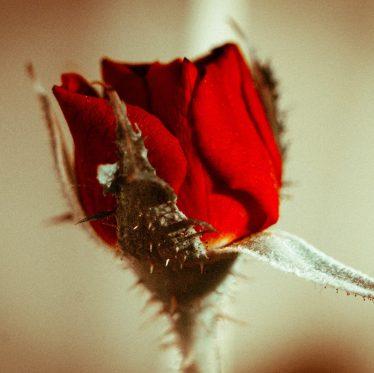 solitary blossom